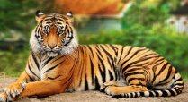 tiger-017