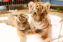tiger-021